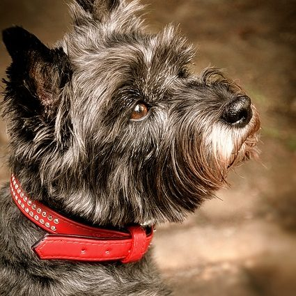 cairn-terrier-2765416_640